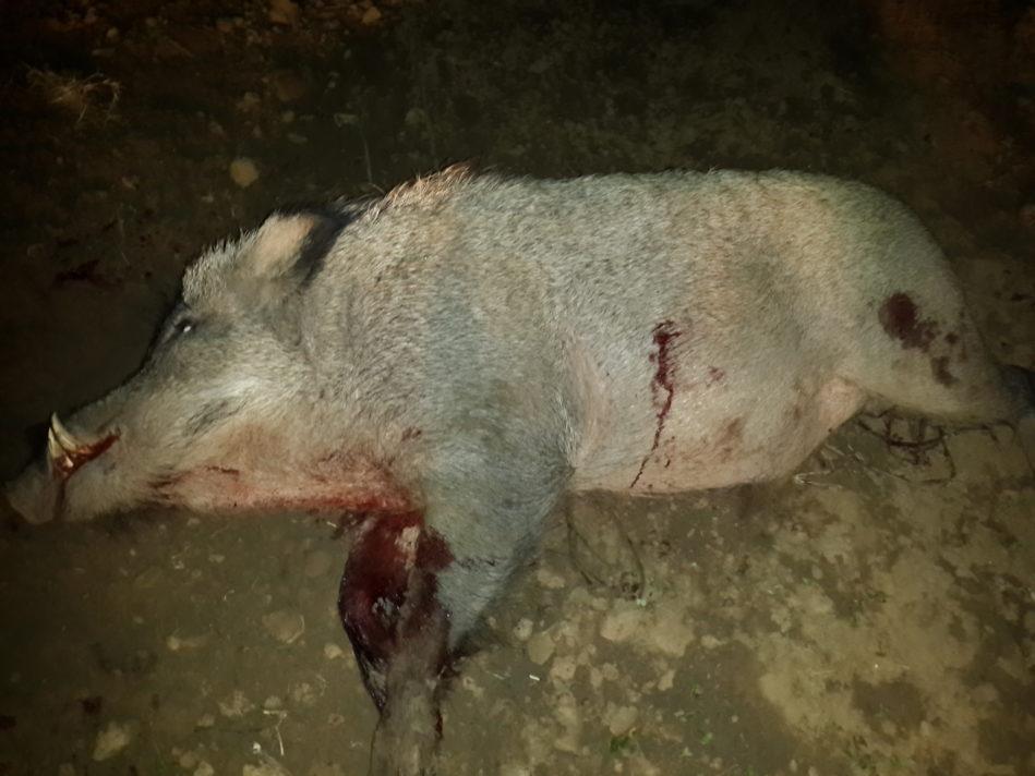 wild boar distribution adventure pakistan